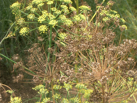 フェンネルの種子