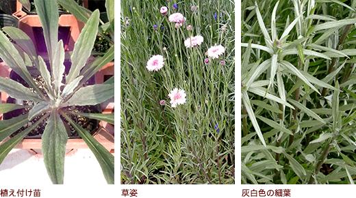 植え付け苗、草姿、灰白色の細葉