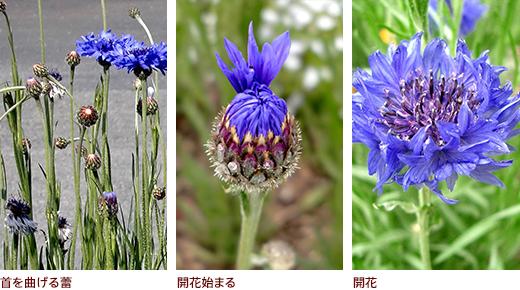 首を曲げる蕾、開花始まる、開花
