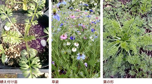 植え付け苗、草姿、葉の形