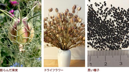 膨らんだ果実、ドライフラワー、黒い種子