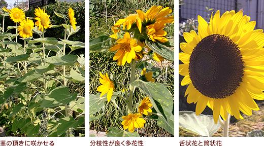 茎の頂きに咲かせる、分枝性が良く多花性、舌状花と筒状花