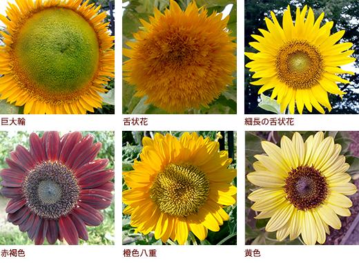 巨大輪、舌状花、細長の舌状花、赤褐色、橙色八重、黄色