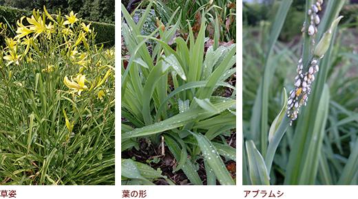 草姿、葉の形、アブラムシ