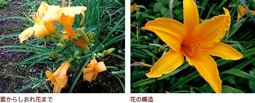 蕾からしおれ花まで、花の構造