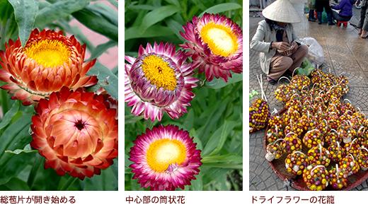 総苞片が開き始める、中心部の筒状花、ドライフラワーの花籠
