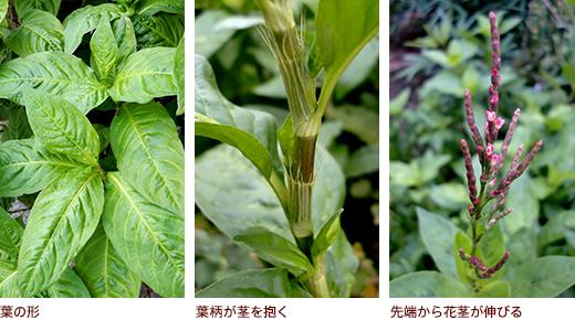 葉の形、葉柄が茎を抱く、先端から花茎が伸びる