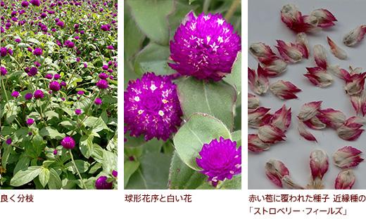 良く分枝、球形花序と白い花、赤い苞に覆われた種子 近縁種の「ストロベリー・フィールズ」