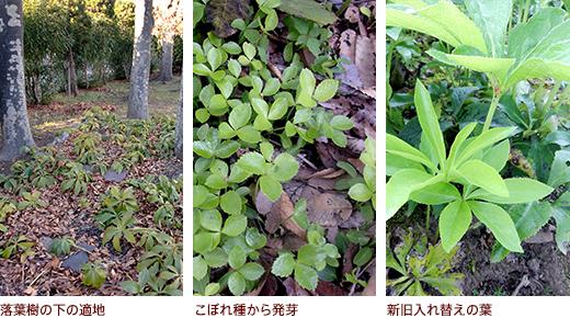 落葉樹の下の適地、こぼれ種から発芽、新旧入れ替えの葉