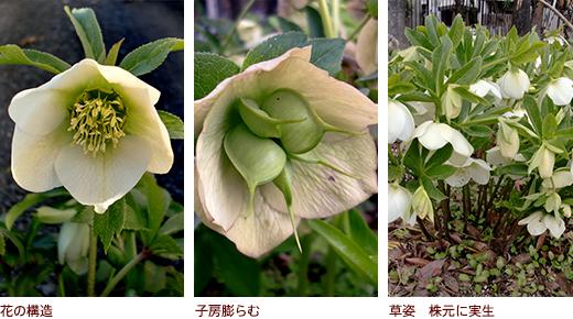 花の構造、子房膨らむ、草姿 株元に実生