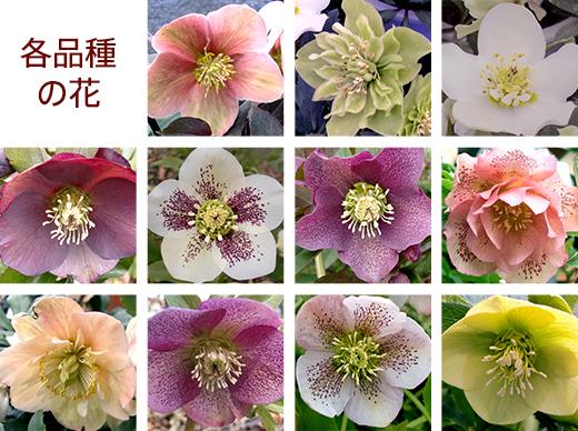 各品種の花
