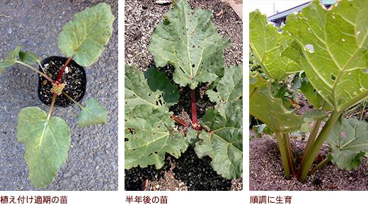植え付け適期の苗、半年後の苗、順調に生育