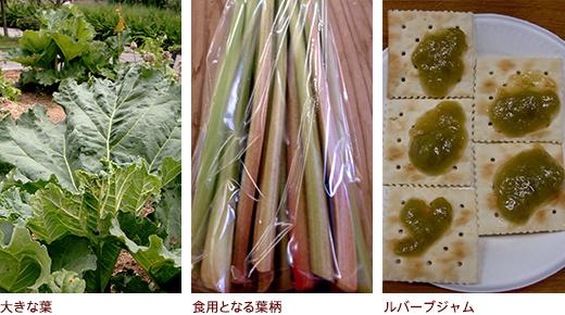 大きな葉、食用となる葉柄、ルバーブジャム