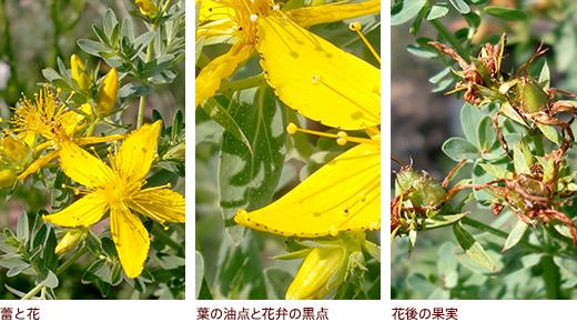 蕾と花、葉の油点と花弁の黒点、花後の果実