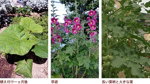 植え付け、生育旺盛、節ごとに小枝