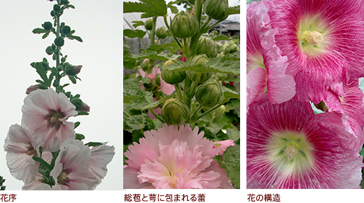 花序、総苞と萼に包まれる蕾、花の構造