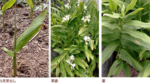 5月芽出し、草姿、葉