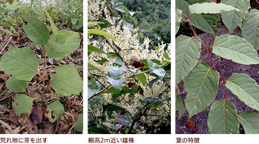 荒れ地に芽を出す、樹高2m近い雄株、葉の特徴