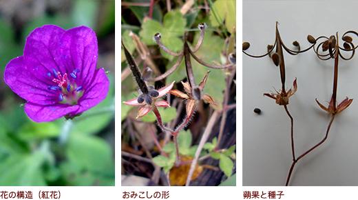 花の構造(紅花)、おみこしの形、�果と種子