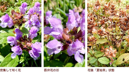 密集して咲く花、唇弁花の形、花後「夏枯草」状態