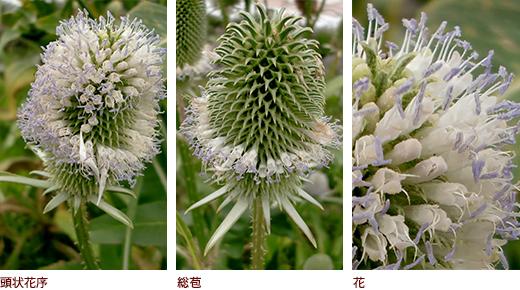 頭状花序、総苞、花