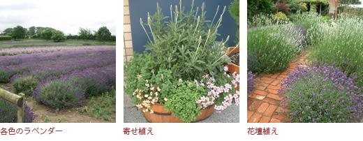 各色のラベンダー、寄せ植え、花壇植え