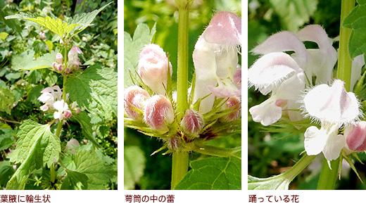 葉腋に輪生状、萼筒の中の蕾、踊っている花