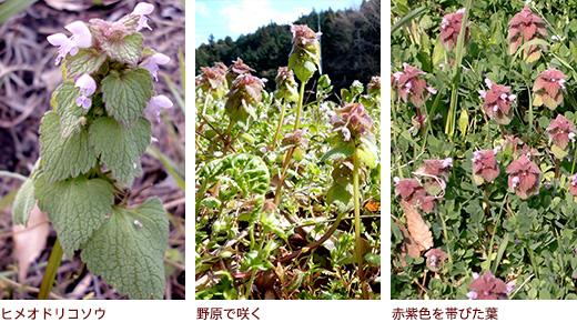 ヒメオドリコソウ、野原で咲く、赤紫色を帯びた葉