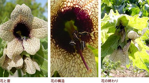 花と蕾、花の構造、花の終わり