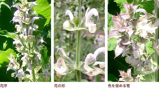 花序、花の形、色を留める苞
