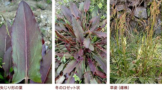 矢じり形の葉、冬のロゼット状、草姿(雌株)