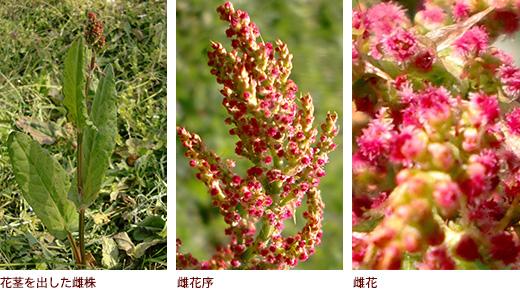 花茎を出した雌株、雌花序、雌花