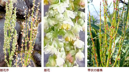 雄花序、雄花、箒状の雄株