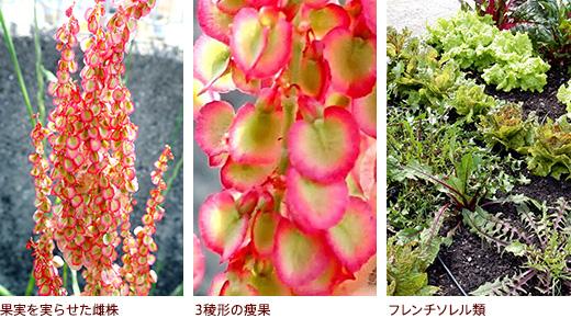 果実を実らせた雌株、3稜形の痩果、フレンチソレル類