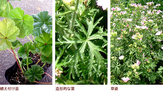 植え付け苗、造形的な葉、草姿