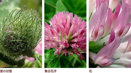 蕾の状態、集合花序、花