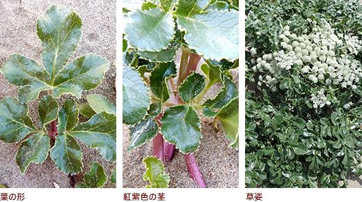 葉の形、紅紫色の茎、草姿
