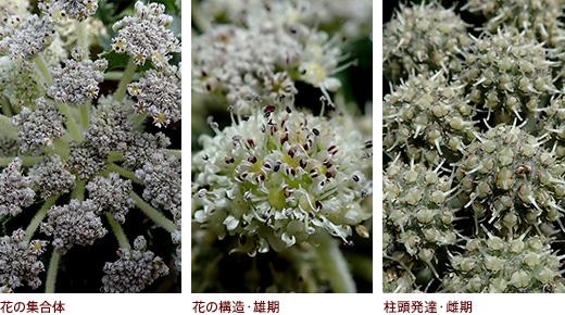 花の集合体、花の構造・雄期、柱頭発達・雌期