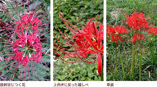 放射状につく花、上向きに反った雄しべ、草姿