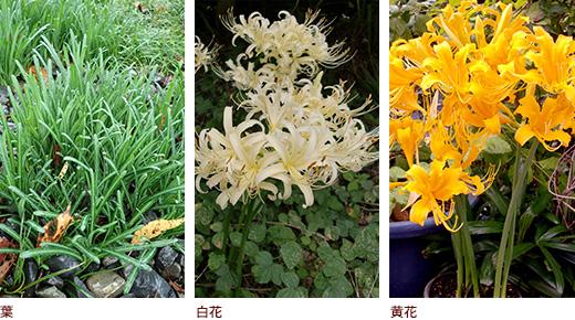 葉、白花、黄花
