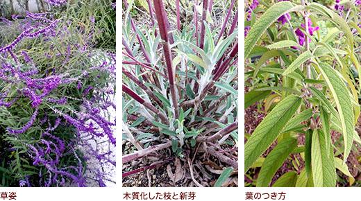 草姿、木質化した枝と新芽、葉のつき方