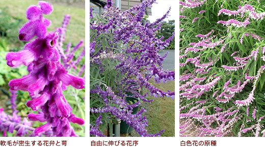 軟毛が密生する花、自由に伸びる花序、白色花の原種