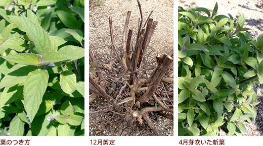 葉のつき方、12月剪定、4月芽吹いた新葉
