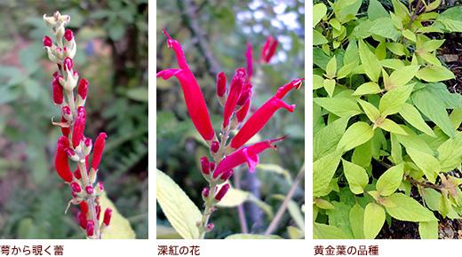 萼から覗く蕾、深紅の花、黄金葉の品種