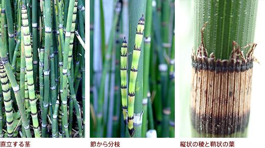 直立する茎、節から分枝、縦状の稜と鞘状の葉