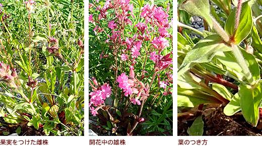 果実をつけた雌株、開花中の雄株、葉のつき方
