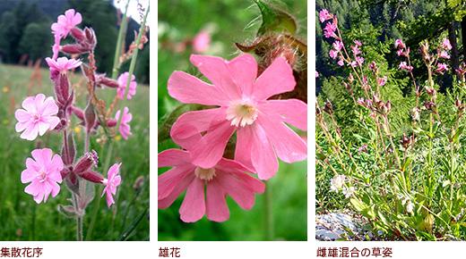 集散花序、雄花、雌雄混合の草姿