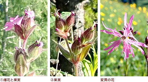 �雌花と果実、�果実、変異の花