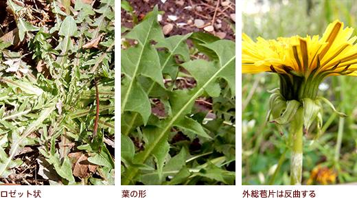 ロゼット状、葉の形、外総苞片は反曲する