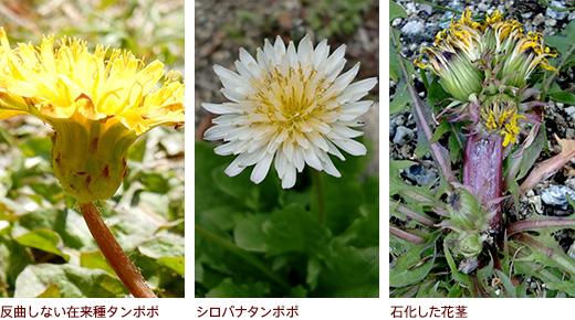 反曲しない在来種タンポポ、シロバナタンポポ、石化した花茎